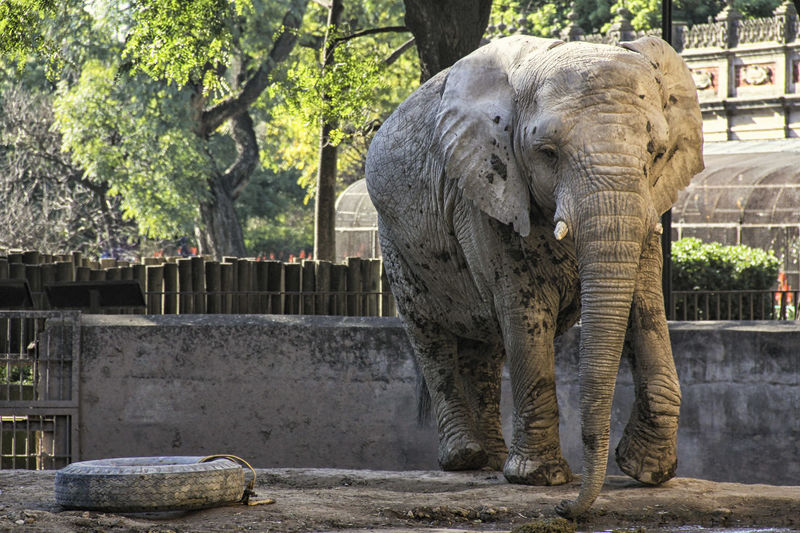 Animal Themes Animal Elephant Tree Animals In The Wild Vertebrate Mammal Animal Wildlife Day One Animal Zoo Animals In Captivity Plant Nature No People Animal Trunk Animal Body Part Focus On Foreground Outdoors Herbivorous