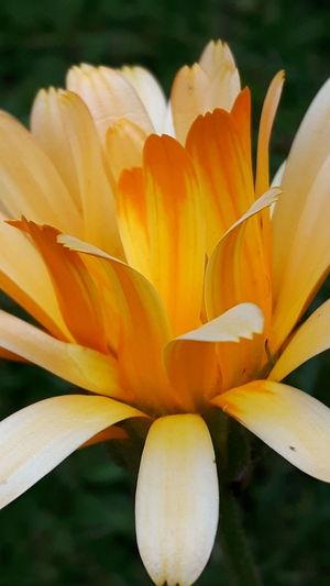 Marigold #2