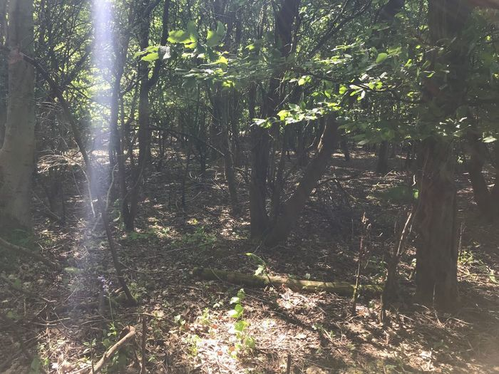 Sun ray Tree Plant Growth Sunlight Forest Land Nature Sunny Sunbeam Scenics - Nature WoodLand