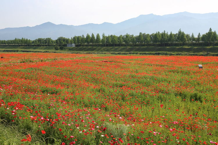 Red flowering plants on field against mountains