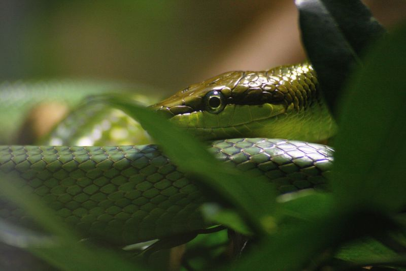 Focus On Foreground Leaf Branch Snake Eyes Leaves Green Tree Snake Tree Snake Green Snake Snake Snake Scales Reptile Animal Themes One Animal Selective Focus Animal Wildlife Green Color Close-up Day Nature No People Animal Scale