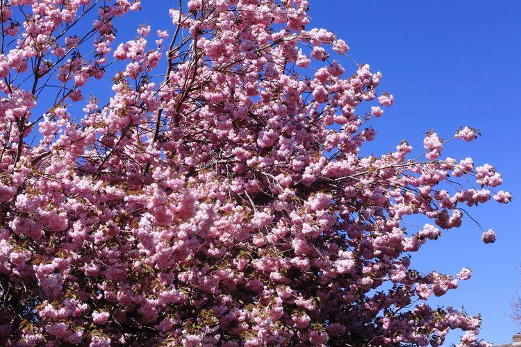 Cherry tree in