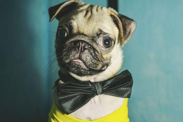 Portrait of pug