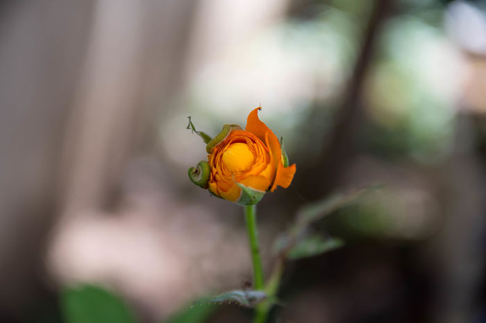 Rose Beauty In Nature Close-up Day Flower Flower Head Flowering Plant Focus On Foreground Fragility Freshness Growth Inflorescence Nature No People Orange Color Outdoors Petal Plant Selective Focus Sepal Vulnerability