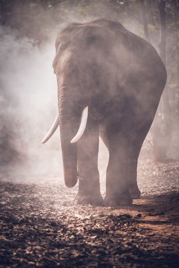 Elephant standing amidst smoke in forest