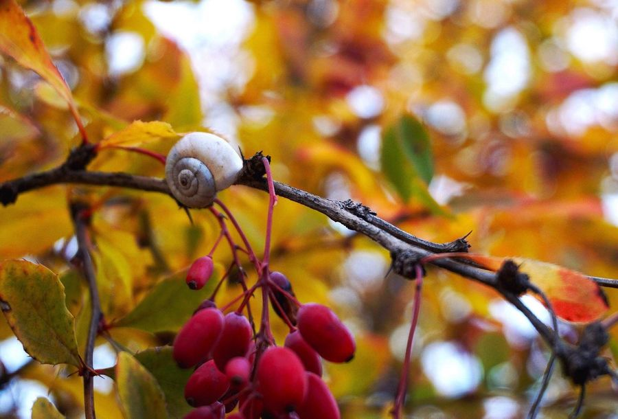 Autumn Walk Beauty In Nature Branch Leaf Outdoors Autumn Snail🐌 Tree Barberry Freshness Nature Naturephotography Ladyphotographerofthemonth Exceptional Photographs My Secret Garden Sweet November EyeEm Gallery Nice Day Close-up Fragility Branches Colors Nature_collection From Russia With Love