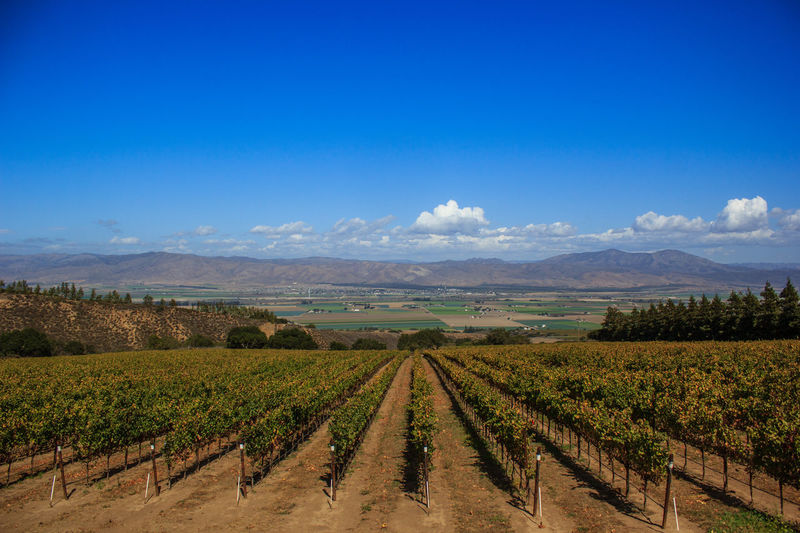 Landscape of Californian vineyard with mountains in background Agriculture Beauty In Nature Blue California Cloud - Sky Day Field Growth Landscape Nature No People Outdoors Rural Scene Scenics Sky Tranquil Scene Tranquility Vineyard Winemaking