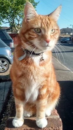 Cat Caturday Cat Sitting On A Wall Handsome Cat Domestic Cat Ginger Cat Orange Cat Ginger And White Cat Orange And White Cat Feline My Cat EyeEm Cats Cats Of EyeEm Cats 🐱 Cats Eyes Focused Sitting Pretty Up Close
