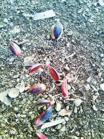 ドングリの芽吹き 草花