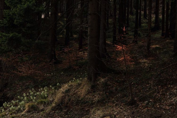 Czech Republic Forest Tree Nature Tranquility Dark Flowers Landscape Outdoors Beauty In Nature Jested Woods No People Canonphotography