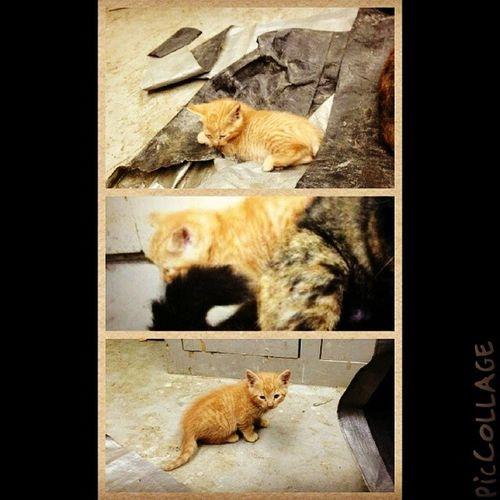 Finally getting my ginger kitty tomorrow! Orangekitty Gingerkitty Kitteh