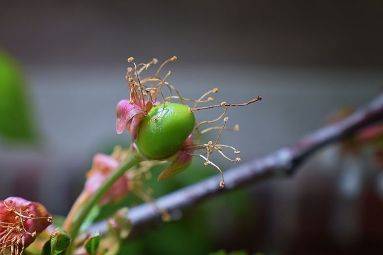 Green unripe Rainier cherry berries with withering blossom attached in detail, macro close up with tree branches blurred in background in South Jordan, Utah. Agriculture Berries Cherry Cherry Blossoms Farm Growing Hanging New Life Rainier Seed Cherry Tree Concept Fruit Tree Orchard Organic Petals Pistil Plantation Rainier Cherries Ripening Spring Unripe Unripe Fruit Wilt Wilted