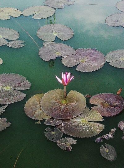 Flowers 🌸🌸🌸 Lotus Flower Lotus♥ Beauty In Nature Lotus Water Lily