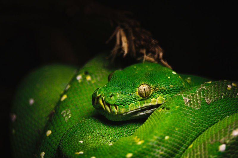 Close-up of green lizard on black background