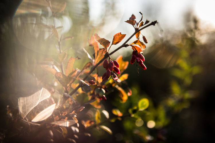 Nature Flower Autumn Fall Sunlight Day Outdoors Plant Growth Season  Freshness Close-up Beauty In Nature No People Selective Focus Orange Color Flowering Plant Plant Part Leaf Focus On Foreground Fragility Vulnerability  Leaves