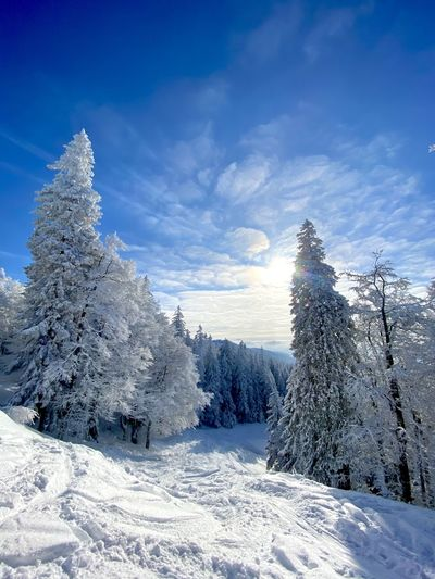 Snow covered plants against blue sky