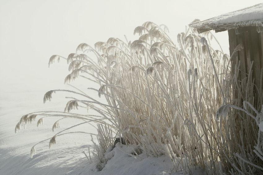 Schweiz Switzerland Wallis Leuk Winter Wintertime Winter Wonderland Schnee Schneelandschaft Schilf Reed Kalt Nature Landscape Cold Cold Temperature Tranquil Scene Ice Eis Cold Days