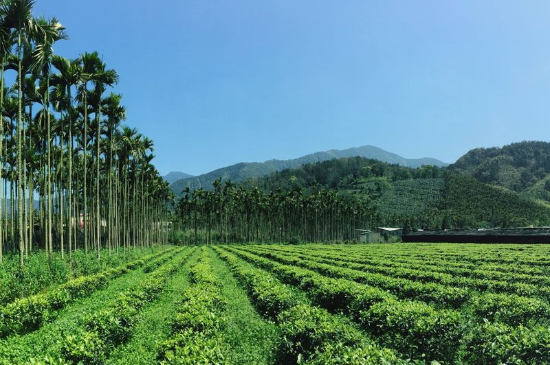 Driving past tea farms TeaLeaves Mountains Palm Trees Travel