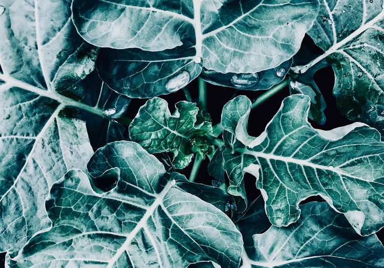 Pattern Food And Drink Black And White Leaf Plant Part Close-up No People Nature Full Frame Backgrounds Cold Temperature Green Color Plant Frozen Beauty In Nature Pattern Leaves Frost Winter Ice Growth Outdoors Day
