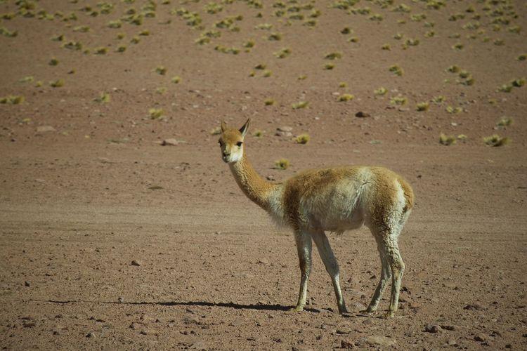 Horse standing in a desert