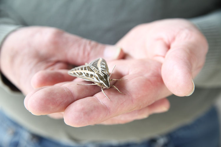 Midsection of man holding sphinx moth
