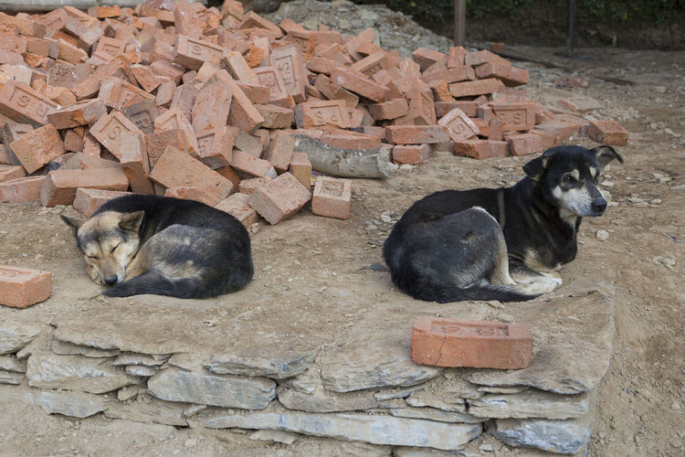 Medium-sized mixed-breed street dog lying down with alert expression and other dog sleeping contentedly on dirt next to pile of half-broken pink bricks in Bandipur, Nepal Bandipur Nepal No People Street Dog Alert Expression Medium-sized Mixed-breed Dog Sleeping Dog Canine Contentedly Dirt Pile Of Bricks Half-broken Bricks Pink Color Nepal Street Scene Without People Animal Relaxation