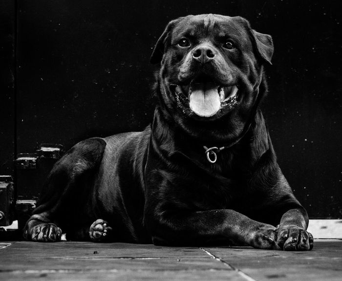 The black Rott Blackandwhite Pet Portraits Rottweiler Front View Portrait Looking At Camera One Person Real People Night Men One Animal Dog Domestic Canine Sitting