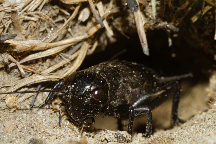 The cricket, gryllus campestris in the burrow