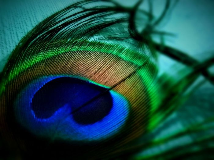 Green Color Blue No People Peacock Multi Colored Bird Animal Themes Animal Beauty In Nature Nature Selective Focus Single Object Pavone Details Colorful Part Of Body EyeEmNewHere