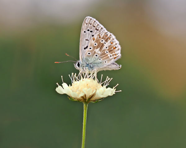 Best Shots Nature Animal Wildlife Animals In The Wild Beauty In Nature Butterfly Butterfly - Insect Butterfly Macro Close-up Flower Head Focus On Foreground Insect Masculine Nature No People Outdoors Plant Polyommatus Coridon Scabiosa