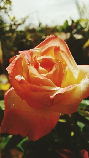 Flawers Rosa Goodmorning Cute Beautifull Taking Photos Red Perfection