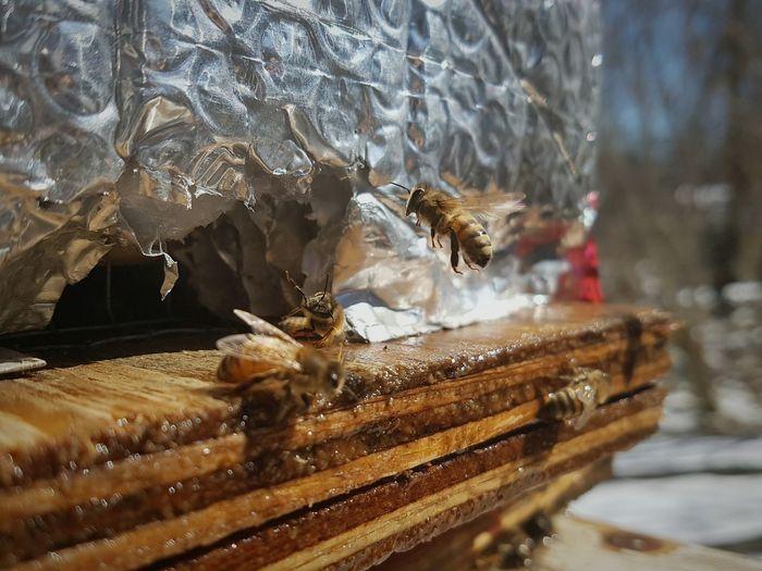 Honeybees at hive entrance