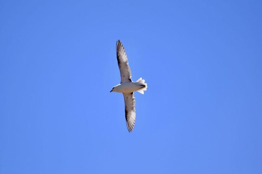 Nikon Nikon D3300 Animal Animal Body Part Animal Themes Animal Wildlife Animals In The Wild Bird Blue Clear Sky Copy Space Day Directly Below Flying Low Angle View Marine Mid-air Nature No People One Animal Outdoors Seagull Sky Spread Wings Vertebrate