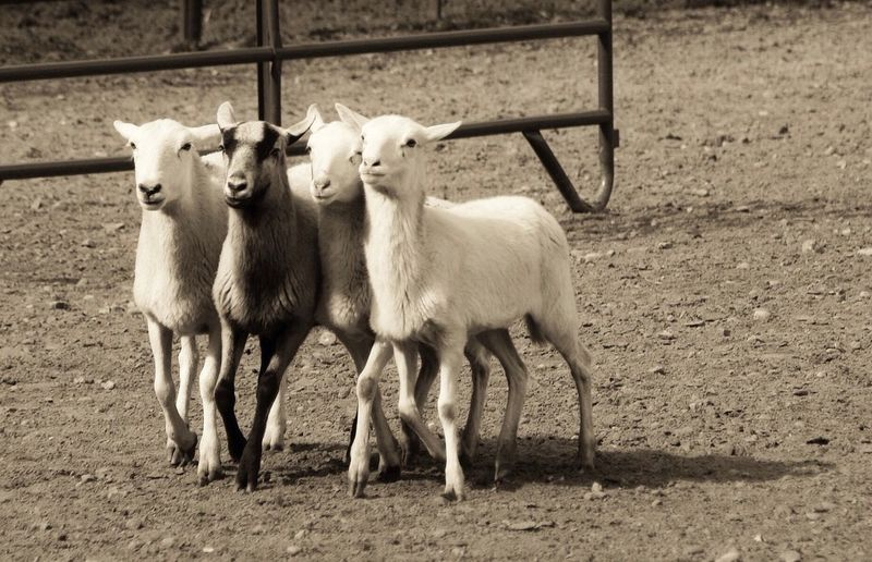 Herding (2 of 2). Another one in my Old Shots I Never Got Around To Posting Until Now Show Me Your Sepia Rurex Monochrome