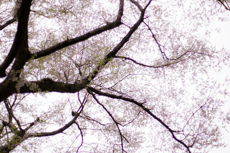 Showcase April April 桜 Cherry Blossom Cherry Blossom Viewing 春 Spring Sony α700 エドヒガン 妙見山