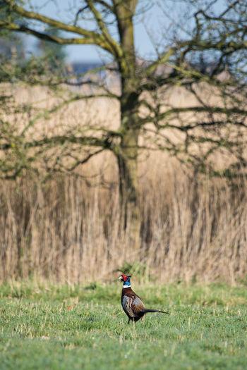 A pheasant strolls a protected nature reserve in Zeeland. Bird Colorful Day Grass Nature No People Pheasant Reserve Standing Tree Wild Zeeland  Zeeuws Vlaanderen