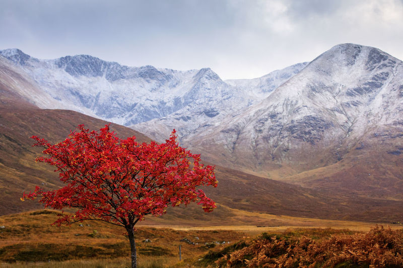 Red flowering tree against mountains