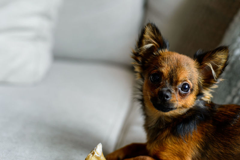 Portrait of chihuahua at home