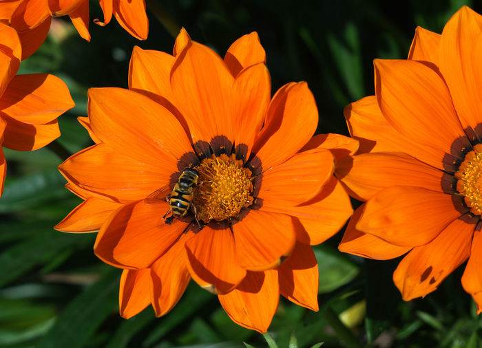 A bee was attracted to the beautiful color of the dahlia.