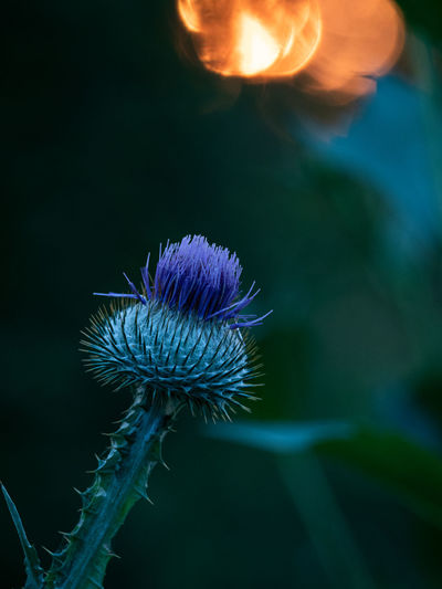 Sunset in a Garden Outdoors Sunset Evening Flower Flower Head Beauty In Nature No People Close Up Nature Summer Summer Time  Plant Growth Flowering Plant Fragility Vulnerability  Focus On Foreground Close-up Freshness Purple Inflorescence Petal Thistle Plant Stem Sunlight