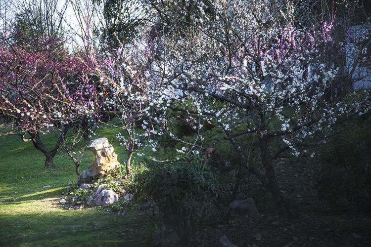 plum blossom Views Plant Tree Beauty In Nature Flower Nature Springtime Growth Flowering Plant Blossom Outdoors No People Plum Blossom Day Cherry Blossom Cherry Tree