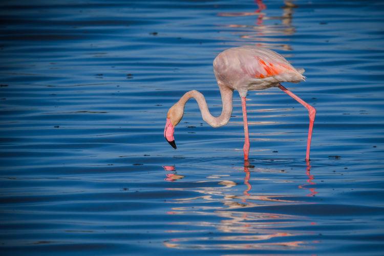 Flamingo wading