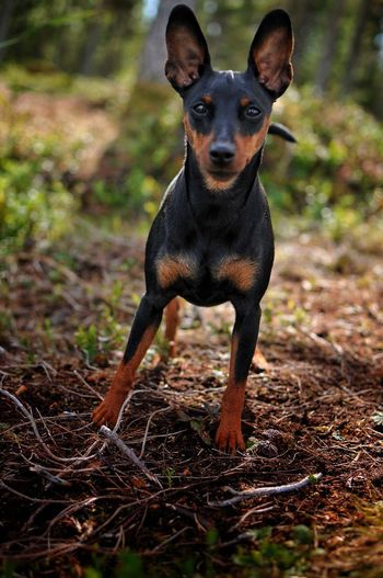Portrait Looking At Camera Animal Themes Dog Pets Dvärgpinscher Miniature Pinscher