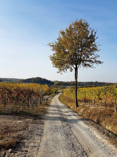 Langhe Roero Tranquility Vineyards In Autumn Autumn Autumn Colors The Way Forward Narrow Path Rural Scene Nature Agriculture Landscape Sky Outdoors No People Beauty In Nature Scenics Tree