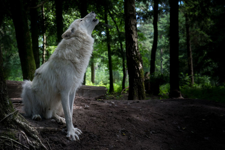 cry of the wolf Beauty In Nature Forest Landscape Nature Outdoors Showcase June Tree WoodLand Wolf Fine Art Photography Wildlife & Nature Wildlife Crying Calling Pack Feel The Journey RudeL Wölfe Animal Tiere Wild Animal Wild Animal Photography Wild Animals Up Close Original Experiences Wildlife Photography #FREIHEITBERLIN