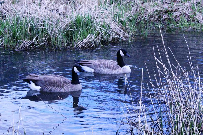 Animals In The Wild Water Animal Themes Swimming Lake Bird Nature Animal Wildlife Water Bird No People Day Goose Outdoors Swan