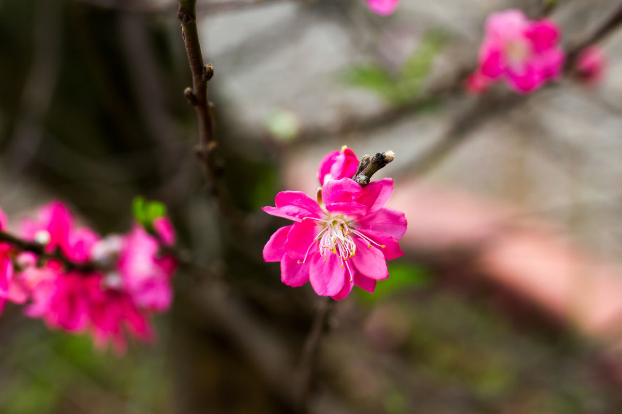 flower, pink color, fragility, petal, one animal, growth, nature, beauty in nature, insect, freshness, no people, animal themes, flower head, plant, close-up, animals in the wild, focus on foreground, outdoors, day, blooming, stamen, bee, pollination, buzzing