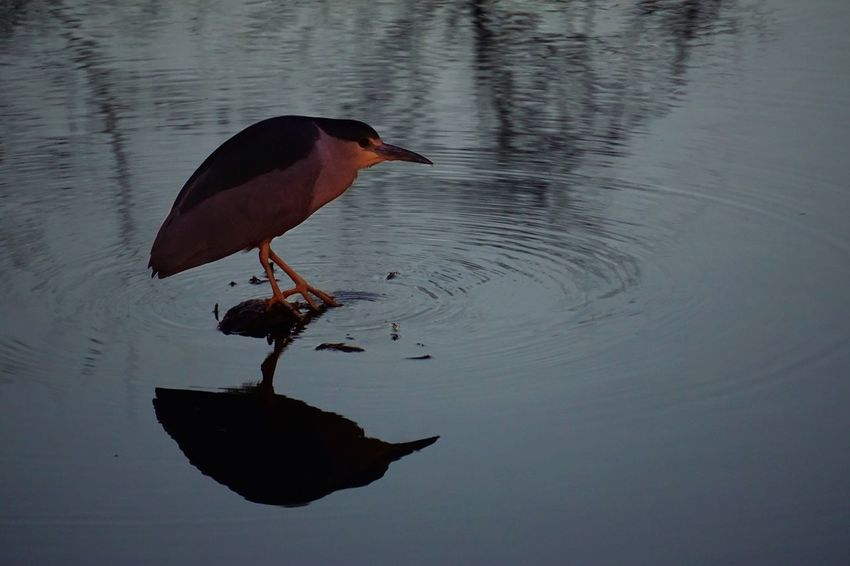 Little fisherman: A night heron reflecting on his meal. Nightphotography Pond Pond Life Dusk Birds Heron EyeEm Nature Lover EyeEm Birds Bird Bird Photography