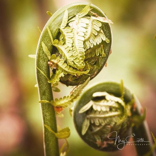 Fiddleheads Plant Focus On Foreground Fern Spring