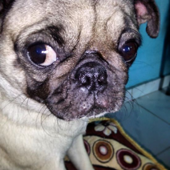 Puggy Pugsofinstagram Pug Dog Doggy Cookiee Mypet Pet Cute Random